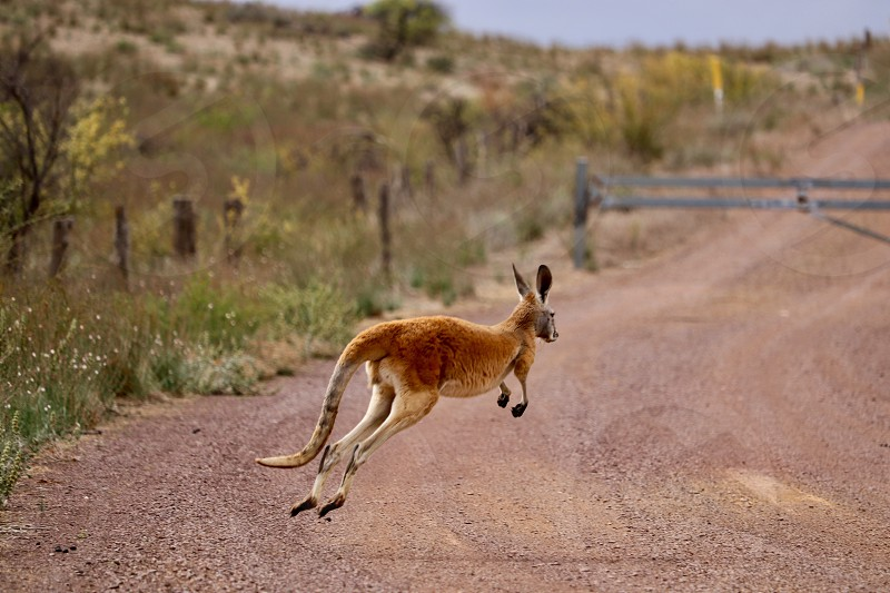 Kangaroo red hopping jumping Flinders ranges South Australia Road across travel adventure discovery surprise hazard wildlife marsupial funny cute tail legs jump animal fauna countryside outback driving Street  photo