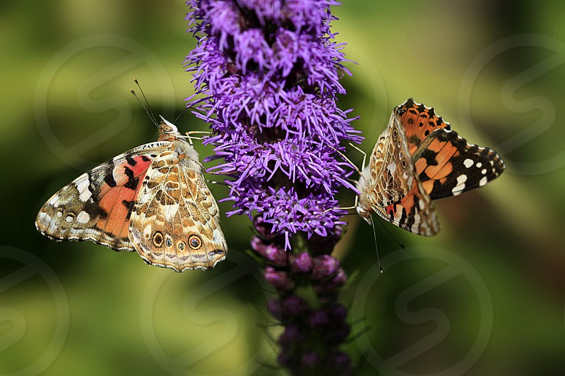 two colorful butterflies siting on flower photo