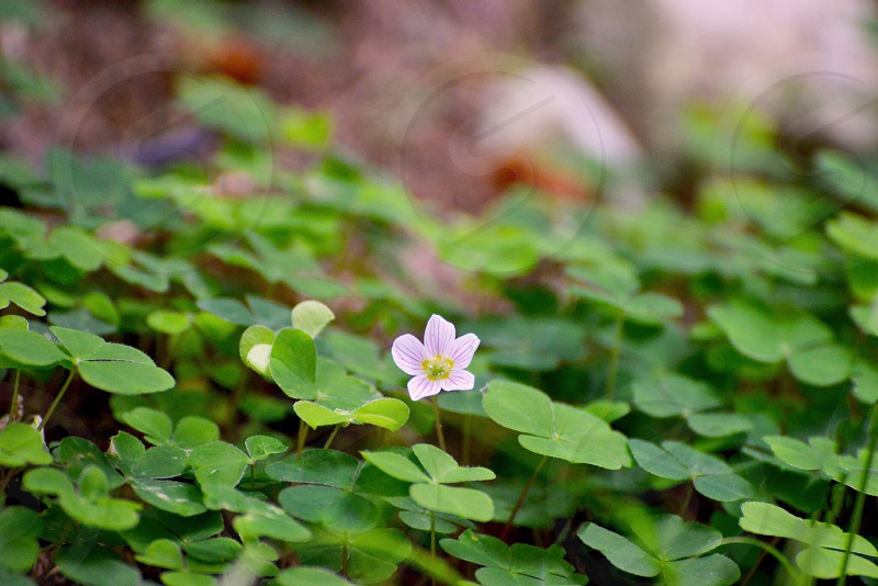 white clover leaf photo