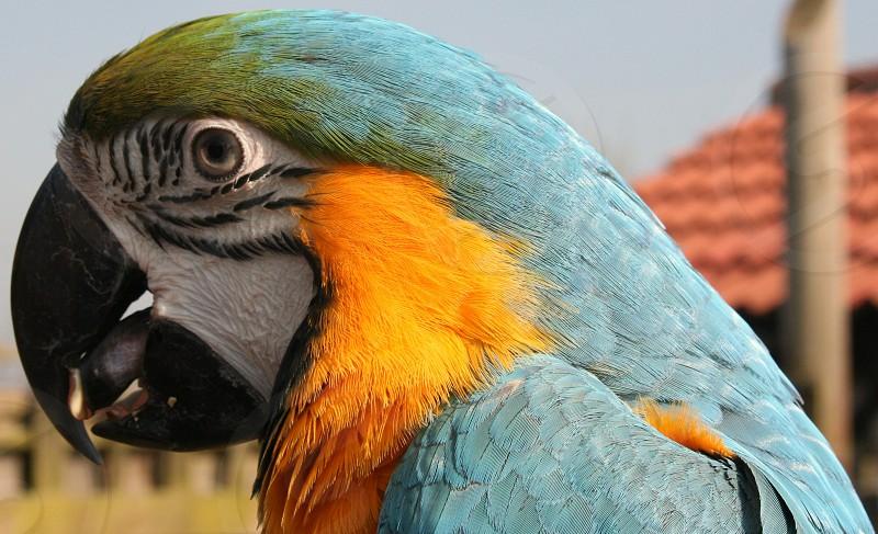 blue and yellow pet macaw/parrot/bird photo