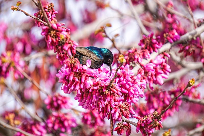 Palasantian Sunbird Enjoying spring Tree Nectar photo
