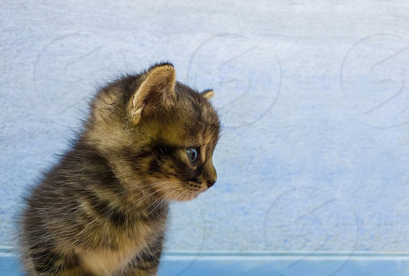 Close up portrait of an adorable little striped grey kitten with brown spots looking curious aside over a blue wall background. photo