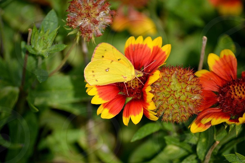clouded yellow butterfly on yellow and red flower photo