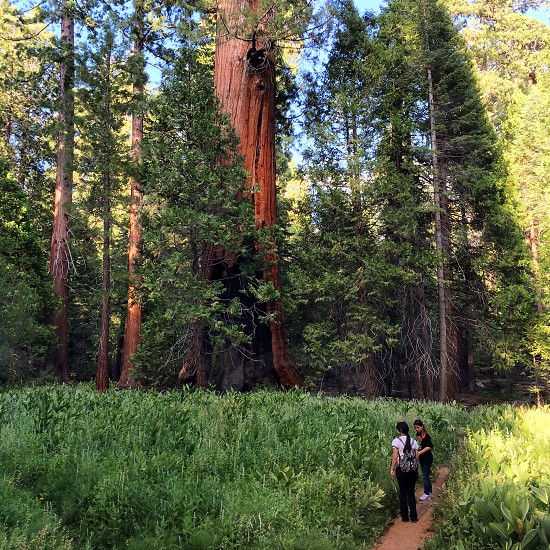 Trail of 100 Giants in Sequoia National Forest  photo