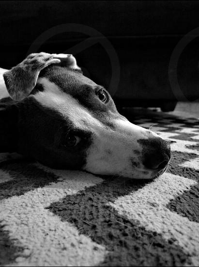 grey and white dog photo
