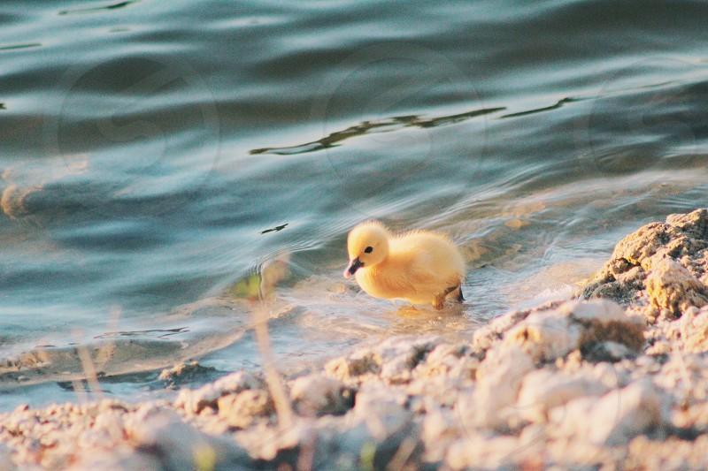 Yellow baby #animals #babies #cute #birds #nature photo