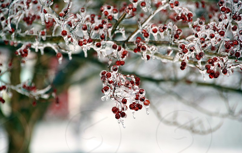 red round fruits covered with icicle photo