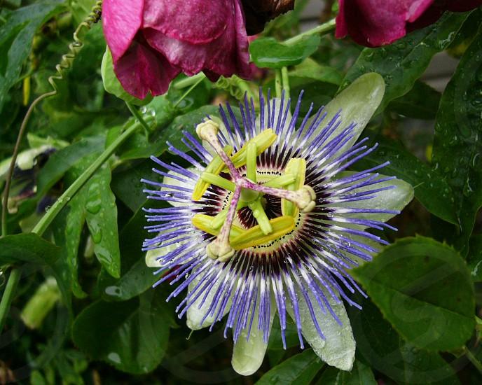 Passionflower photo
