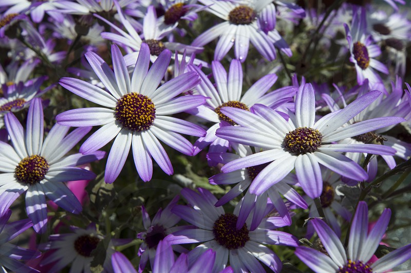 Purple Daisies  photo