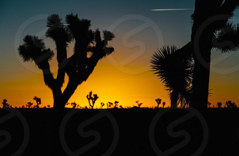 joshua trees and sunset photo