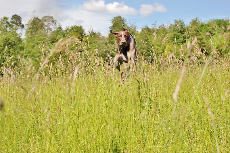 german shorthaired pointer running on green grass photo