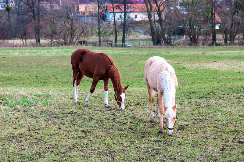 white and brown horses are grazing on the meadow photo