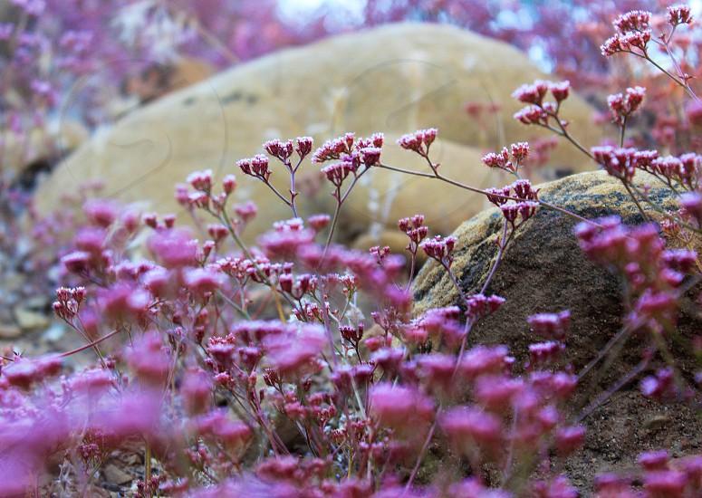 Flowers spring ojai California  photo