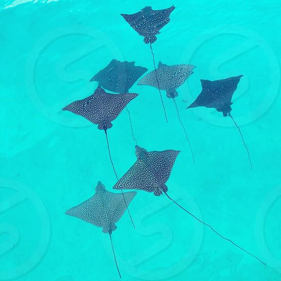 Minimalist Ray stingray water ocean sea fish school tropical photo