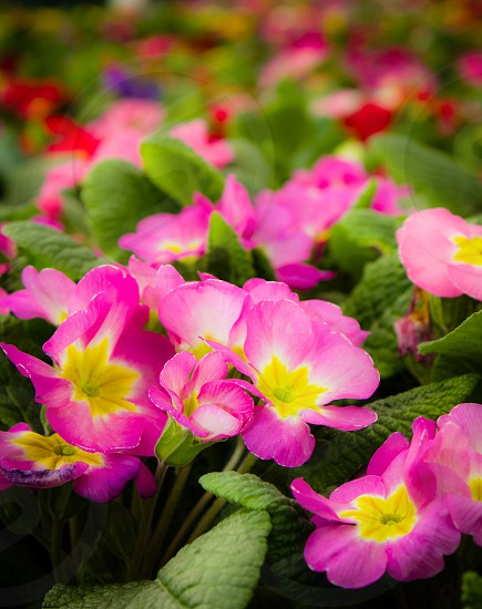 Primroses showing off their spring colors. photo