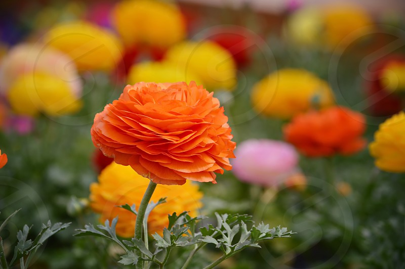 Ranunculus Spring flowers bright vivid colors photo