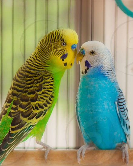 Best buddie budgies  photo