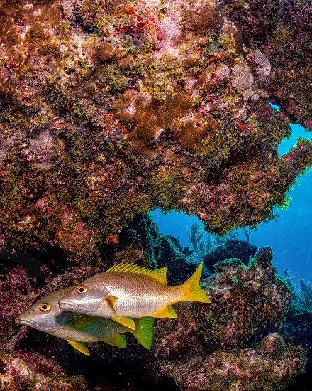 A pair of snapper on a reef in the Florida Keys. photo