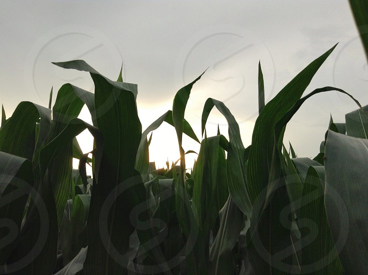 corn stalks  photo