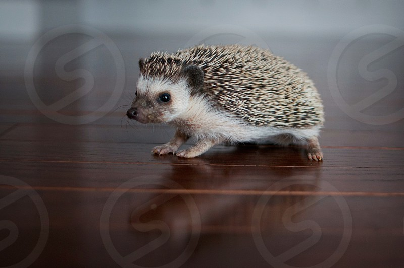 african pygmy hedgehog hedgie exotic pet photo