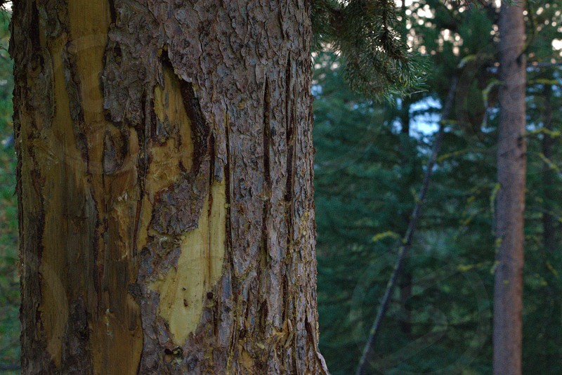 Bear claw marks on a tree. photo