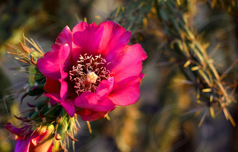 Close up of a Cholla cactus flower. photo