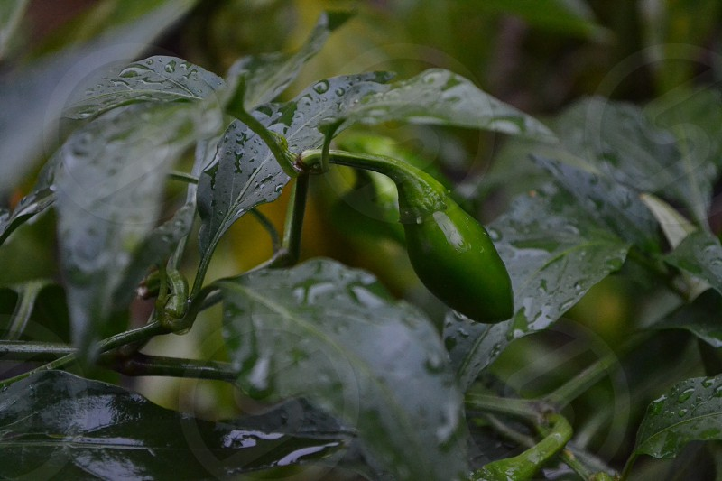 Peppers growing in my backyard garden. Photo taken just after a refreshing afternoon rain shower photo