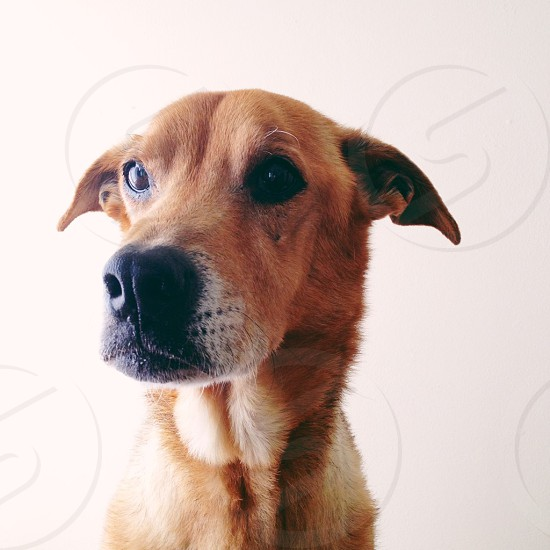 brown short-haired dog photo