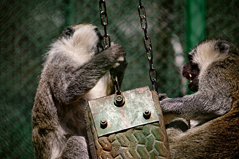 Two monkeys fighting over a playground swing. photo