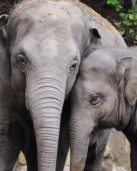 grey elephants photo