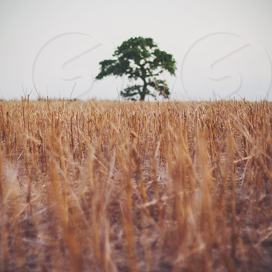 Lone tree in a farmers field photo