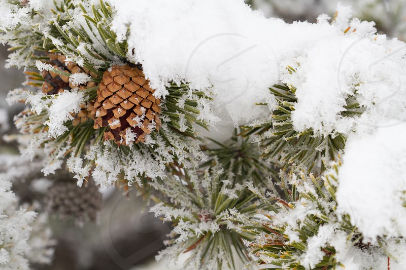 A pinecone covered in snow photo