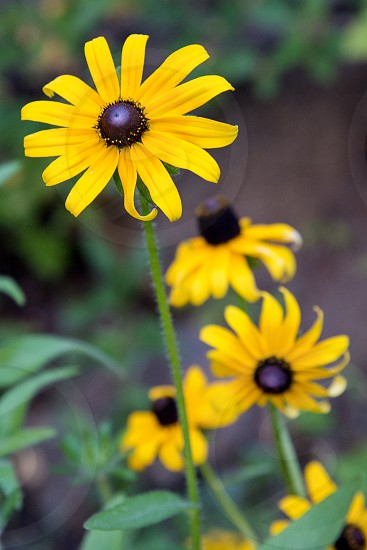 Yellow daisy flower spring bright garden nature blooming bloom growth flora photo