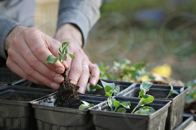 A close up of hands transplanting seedlings photo