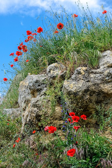 Poppies growing in Val d'Orcia Tuscany photo