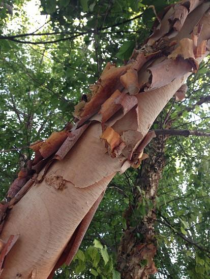 peeling tree trunk photo