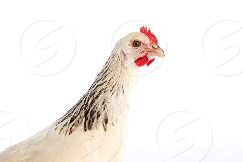 Sussex hen original from England on white background photo