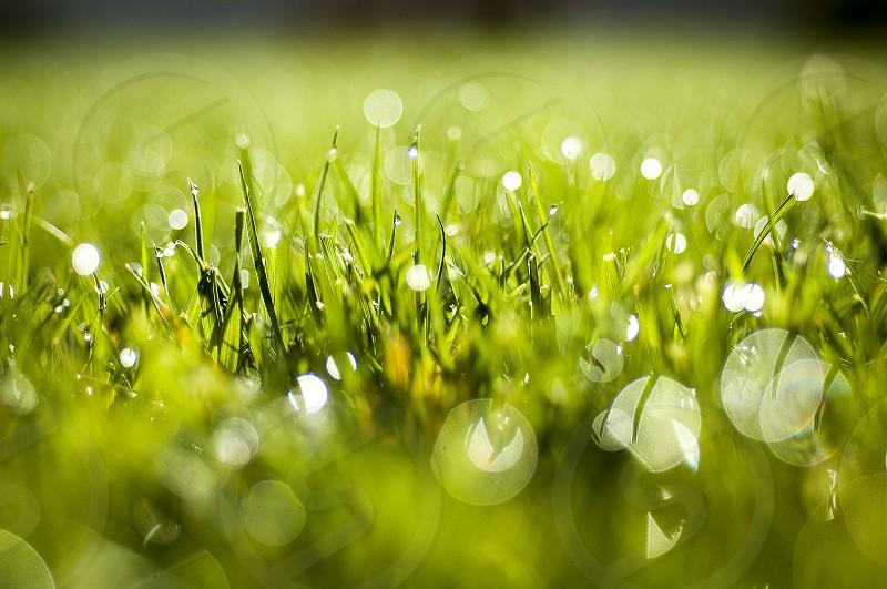 Lawn on dewy morning// #lawn #grass #dew #macro photo