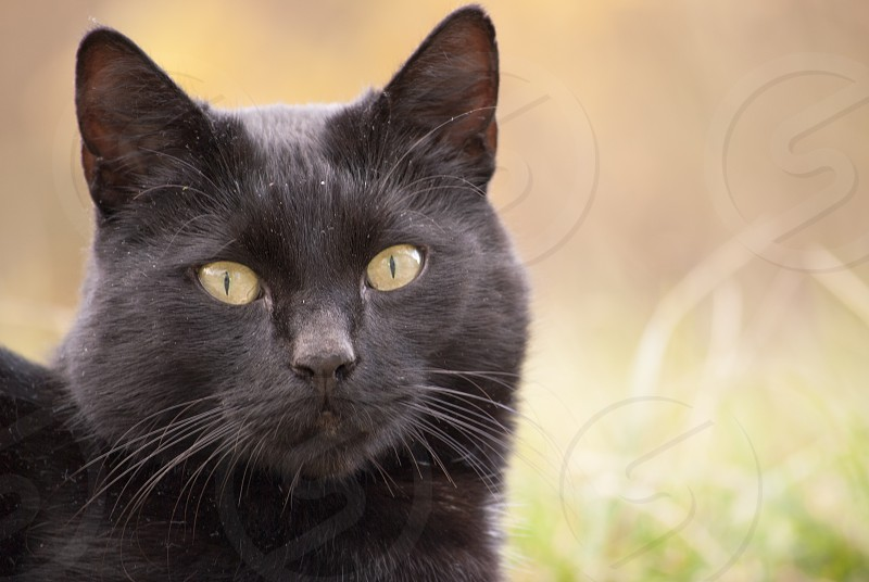 Wild cat at Dutch island Texel photo