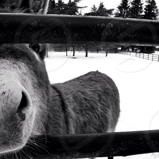 gray horse photo