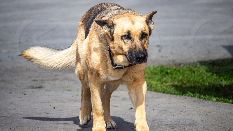 A black and tan German shepherd farm dog approaches from a paved driveway with its ears low. photo