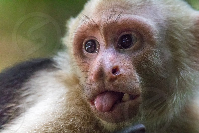Capuchin Monkey Travel Costa Rica Manuel Antonio Ape Wild Animal Tongue Funny Cute Critic Closeup Close Up Wildlife Nature By John Fletcher Photo Stock Snapwire,Bathroom Remodel Bathroom Floor Tile Ideas