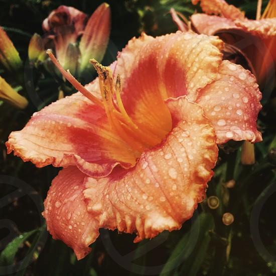 Flower  nature  rain  photo