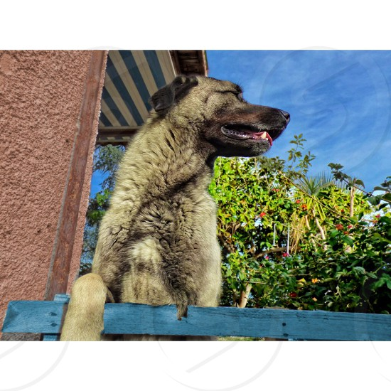 Dexter my Turkish Kangal photo