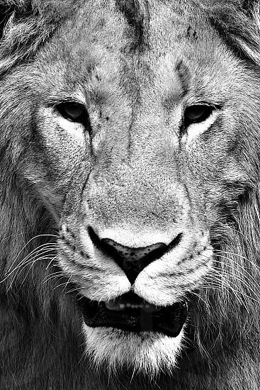 Lion Portrait - Africa photo