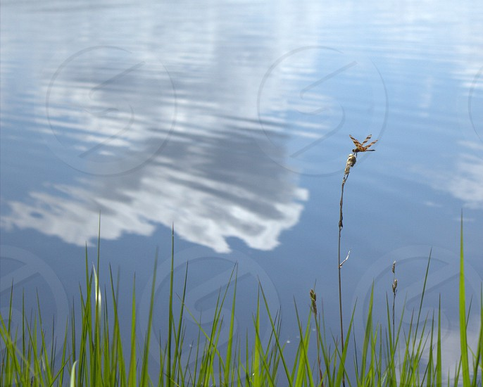 peering over water dragonfly summer photo