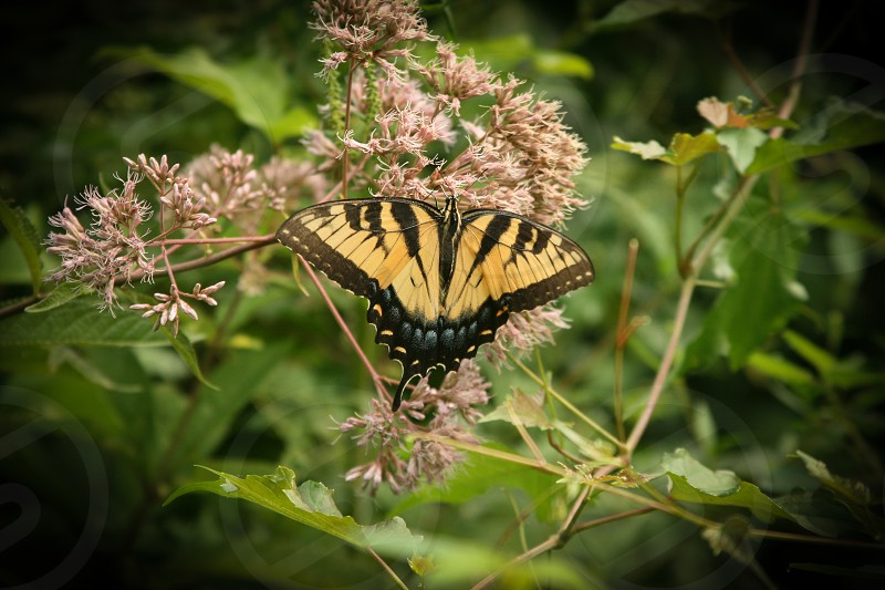 yellow black butterfly photo