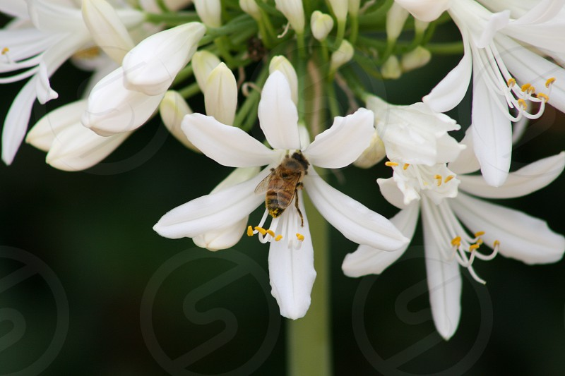 White Agapanthus flowers with bee photo