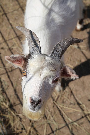 Farm goat photo