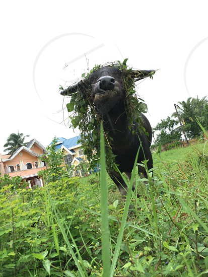 black water buffalo eating green grass under gray sky photo